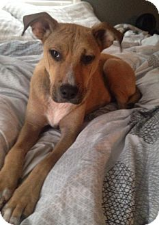 Boxer Mix Puppy for adoption in Orangeburg, South Carolina - Audi