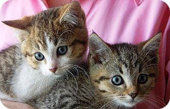 Domestic Shorthair Kitten for adoption in Orlando, Florida - Haley