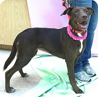 Labrador Retriever Mix Dog for adoption in Evansville, Indiana - Loretta