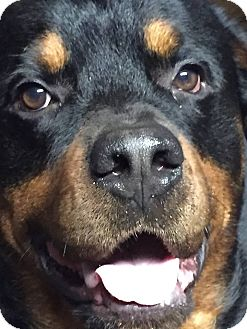 Rottweiler Mix Dog for adoption in Frederick, Pennsylvania - Buzz