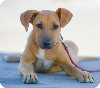 Labrador Retriever/Boxer Mix Puppy for adoption in San Diego, California - EVA