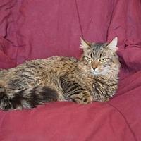 Domestic Mediumhair Cat for adoption in O'Fallon, Missouri - Cleopatra