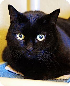 Domestic Shorthair Cat for adoption in Buena Vista, Colorado - Shania