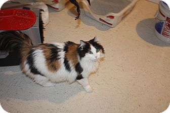 Domestic Longhair Cat for adoption in St. Louis, Missouri - Miss Scarlett
