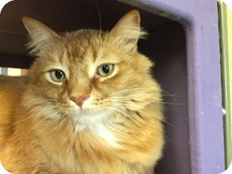 Domestic Mediumhair Cat for adoption in Medina, Ohio - Henri