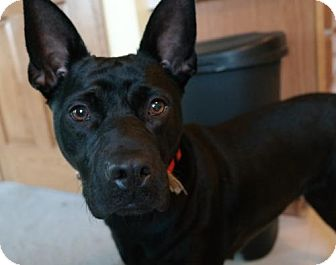 Pit Bull Terrier/Labrador Retriever Mix Dog for adoption in Livonia, Michigan - Pepper-ADOPTED