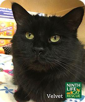 Domestic Mediumhair Cat for adoption in Oakville, Ontario - Velvet