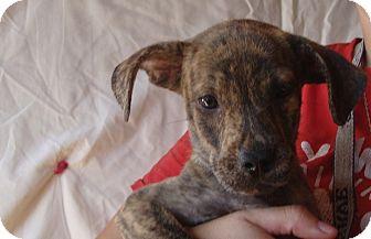 Plott Hound/Australian Shepherd Mix Puppy for adoption in Oviedo, Florida - Ella