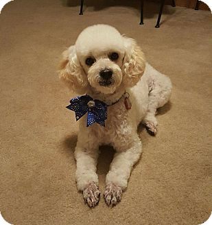 Poodle (Miniature) Dog for adoption in Denver, Colorado - Pepe