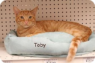 Domestic Shorthair Cat for adoption in Walnut Creek, California - Toby