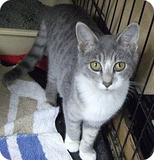 Domestic Shorthair Kitten for adoption in Lombard, Illinois - PawPaw