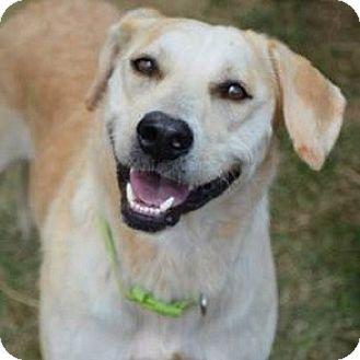Labrador Retriever/Whippet Mix Dog for adoption in Athens, Georgia - Charlie