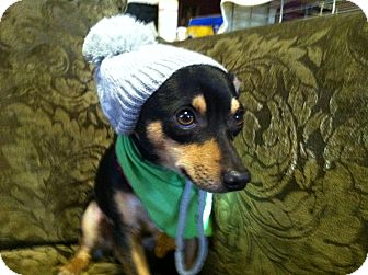 Chihuahua/Miniature Pinscher Mix Dog for adoption in Boerne, Texas - Ponchito