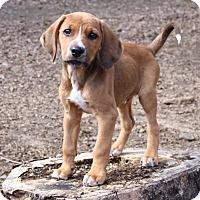Adopt A Pet :: *Hank - PENDING - Westport, CT