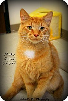 Domestic Longhair Cat for adoption in Gaylord, Michigan - Marko Louis