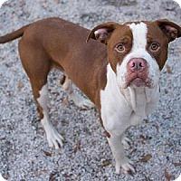 Boxer/Labrador Retriever Mix Dog for adoption in Decatur, Georgia - King