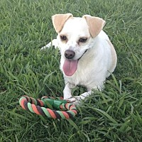 Beagle/Terrier (Unknown Type, Medium) Mix Dog for adoption in Thibodaux, Louisiana - Ruby K91-9102