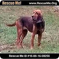 Bloodhound Dog for adoption in Adamsville, Tennessee - Nora