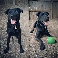 Labrador Retriever Mix Dog for adoption in Independence, Missouri - Dyson