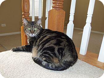 Domestic Shorthair Cat for adoption in Romeoville, Illinois - Angel