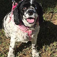 Adopt A Pet :: Daisy - Greensboro, MD