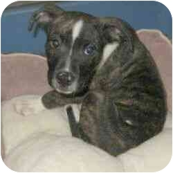 American Pit Bull Terrier Mix Puppy for adoption in Berkeley, California - Rudolph