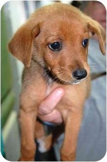 Carolina Dog Mix Puppy for adoption in Inman, South Carolina - Lincoln