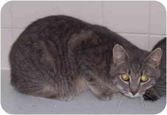 American Bobtail Cat for adoption in Stuarts Draft, Virginia - Rocket