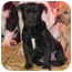 Photo 2 - Pit Bull Terrier/Labrador Retriever Mix Puppy for adoption in Salem, New Hampshire - Cagney