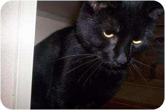 Domestic Shorthair Cat for adoption in North Charleston, South Carolina - Jethro