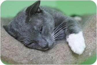 Russian Blue Cat for adoption in Medford, Massachusetts - Saunders