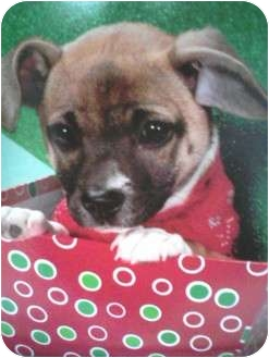 Pug/Beagle Mix Dog for adoption in Paintsville, Kentucky - Maxie