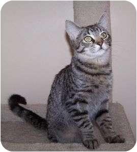 Domestic Shorthair Cat for adoption in Colorado Springs, Colorado - K-Melody4-Erol