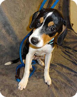 Beagle Puppy for adoption in Waldorf, Maryland - Fiona George