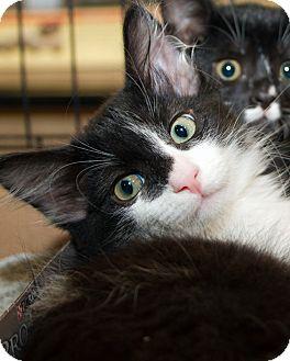 Domestic Longhair Kitten for adoption in Irvine, California - Nate