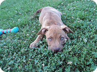 Boxer Mix Puppy for adoption in Pickerington, Ohio - Carolina