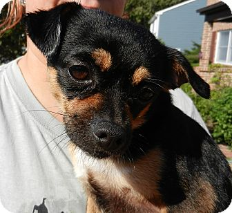Chihuahua Mix Puppy for adoption in South Jersey, New Jersey - Chico