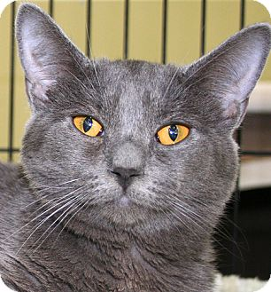 Domestic Shorthair Cat for adoption in Asheville, North Carolina - Charlene