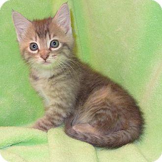 Domestic Shorthair Kitten for adoption in Bentonville, Arkansas - Whismy