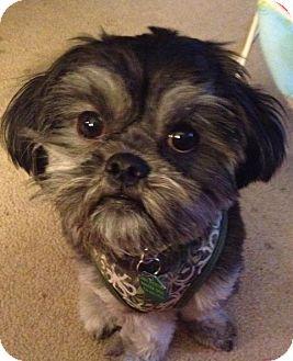 Shih Tzu Dog for adoption in Urbana, Ohio - Barkley