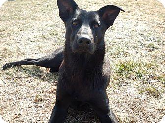 German Shepherd Dog/Border Collie Mix Dog for adoption in Sagaponack, New York - Scarlett