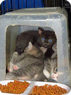 Domestic Shorthair Cat for adoption in Henderson, North Carolina - Viola & 4 Kittens