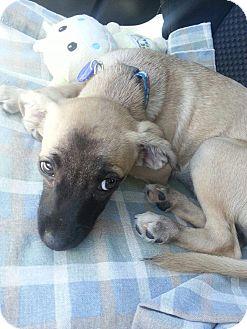 Belgian Malinois Mix Puppy for adoption in Van Nuys, California - *URGENT* Petunia