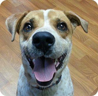 Bluetick Coonhound/Australian Cattle Dog Mix Dog for adoption in Lisbon, Ohio - Bingo