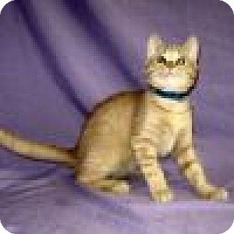 Domestic Shorthair Cat for adoption in Powell, Ohio - Wyatt