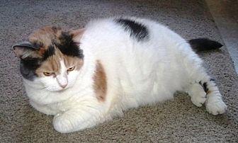 Calico Cat for adoption in Williamston, Michigan - Dusty