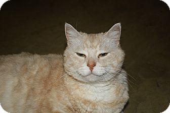 Domestic Shorthair Cat for adoption in Port Clinton, Ohio - Albert