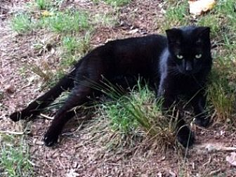 Domestic Shorthair Cat for adoption in McConnells, South Carolina - Billy Bowleggs