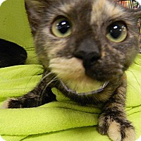 Adopt A Pet :: Tammy Tootsie - The Colony, TX