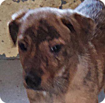 Labrador Retriever/Labrador Retriever Mix Puppy for adoption in Maquoketa, Iowa - Smore